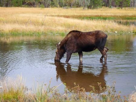 Moose10