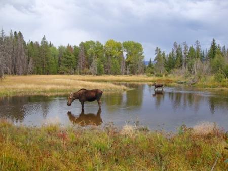 Moose11