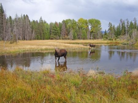 Moose12