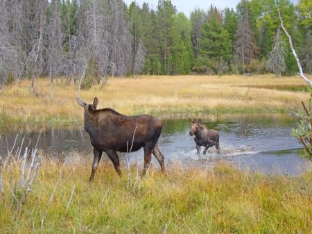 Moose15