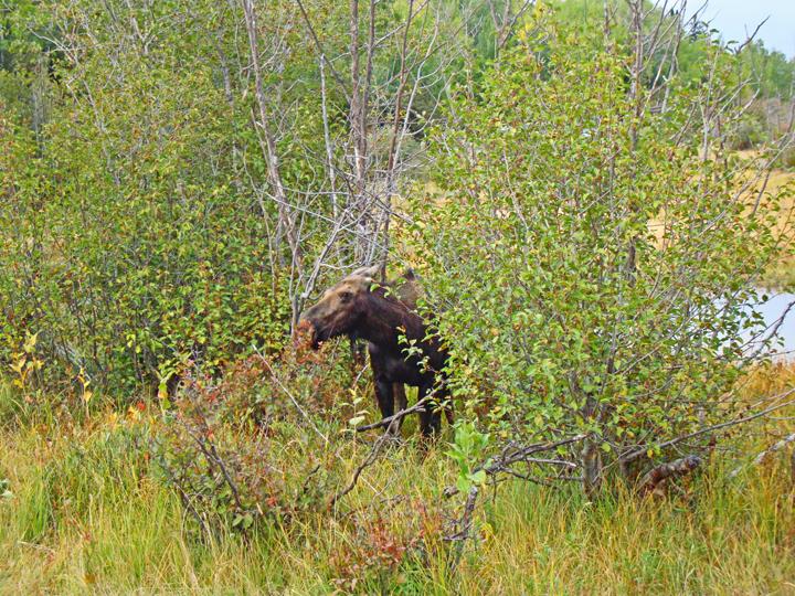 Moose20