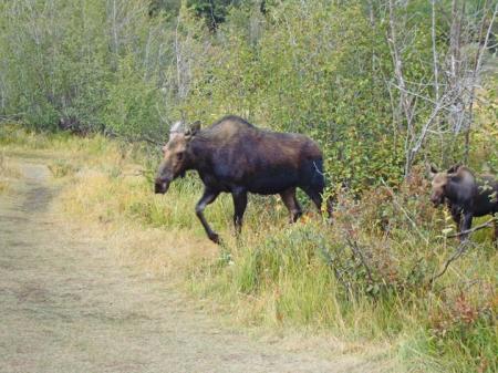 Moose21