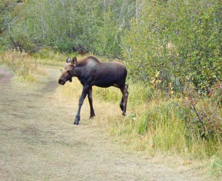 Moose22